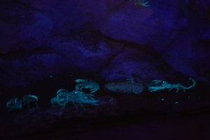 These are only glowing scorpions people, GLOWING SCORPIONS!